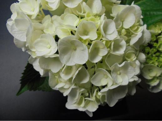 白紫陽花1
