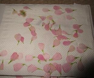 ストックの花びら