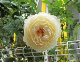 クレアオースチン一番花 (320x246)