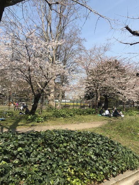 日比谷公園のさくらは本日満開です。花見をするなら今週中までですよ~ | こちらは日比谷公園の草地広場周辺の桜です