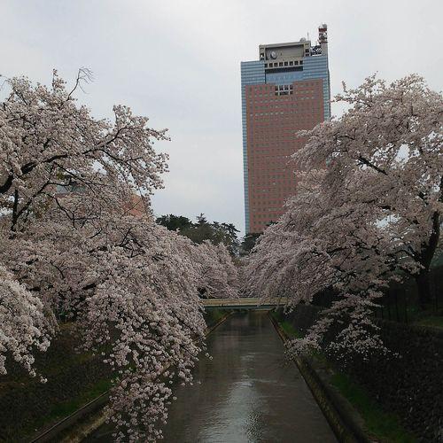 20170410前橋公園の桜と群馬県庁