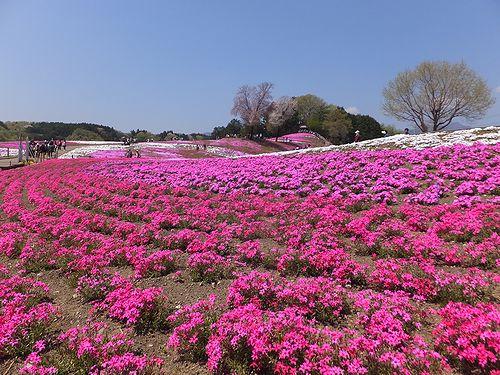 20170424みさと芝桜公園1