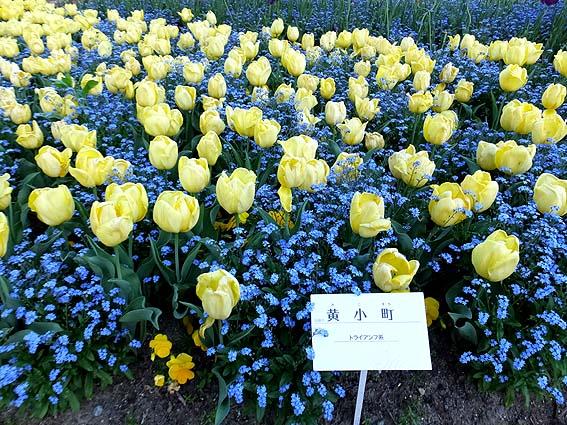 富山生まれの品種、黄小町