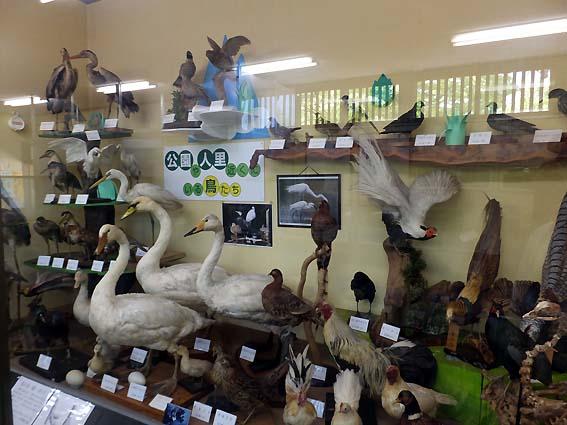 高岡古城公園自然資料館の水辺の鳥の剥製