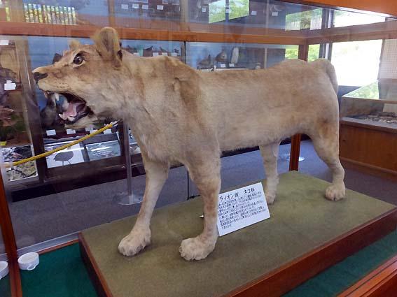 ライオン「バビッタ」