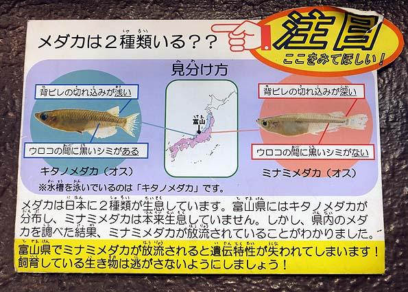 日本にいる2種類のメダカ