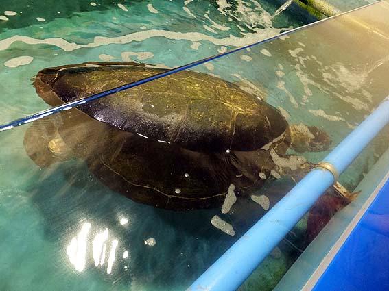 日本の水族館では2番目に長生きのアオウミガメ