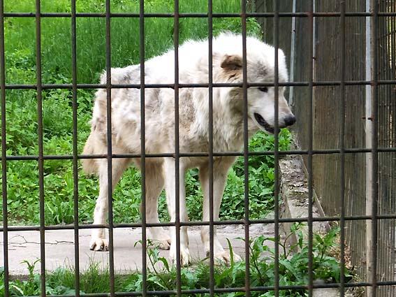 富山市ファミリーパークのシンリンオオカミ