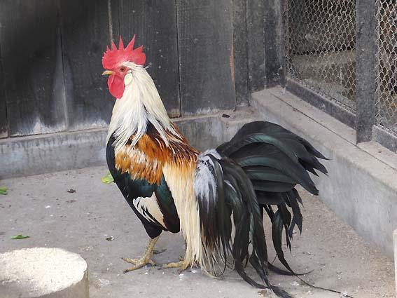 富山市ファミリーパークの尾長鳥