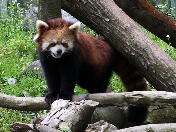 富山市ファミリーパークのシセンレッサーパンダ