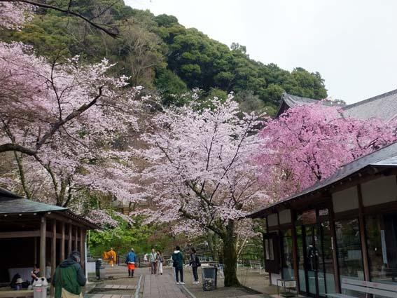 長谷寺休憩所付近の桜