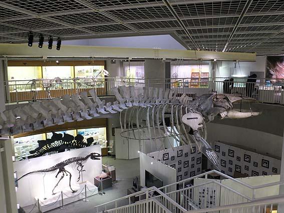 イワシクジラ骨格標本