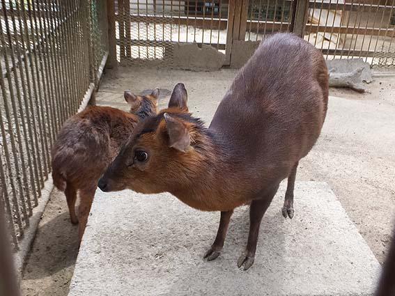 池田動物園のキョン