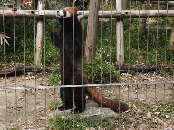 池田動物園の直立するレッサーパンダ