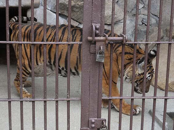 池田動物園の国内最高齢のトラ