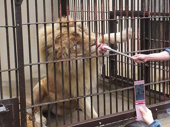 池田動物園のライオン餌やり