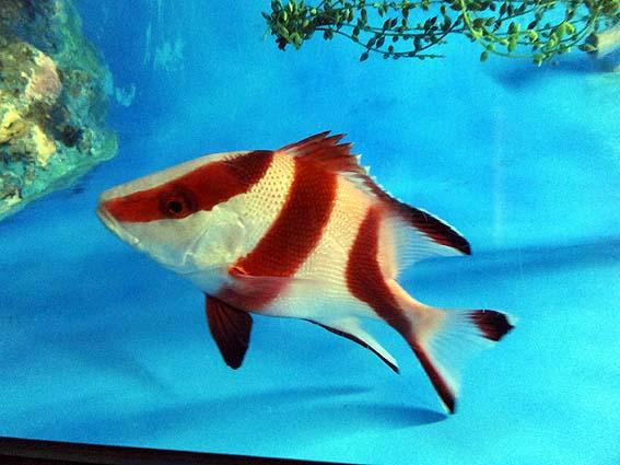 センネンダイの幼魚@渋川マリン水族館