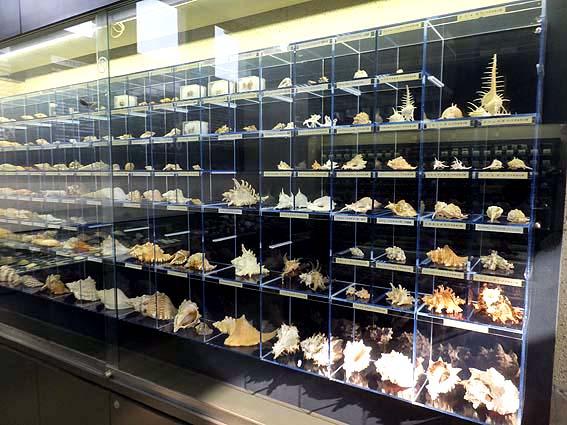 たくさんの貝類標本