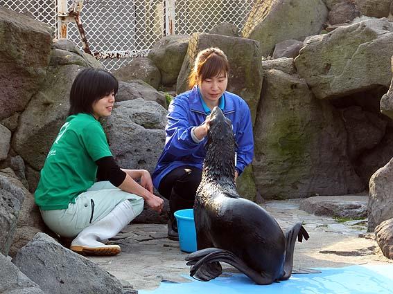 キタオットセイ@渋川マリン水族館