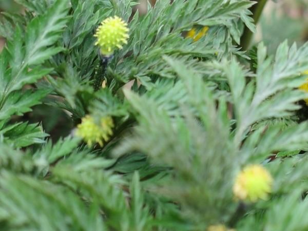 花びらの散った福寿草