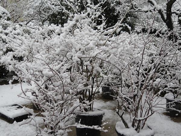 ブルベリーと雪