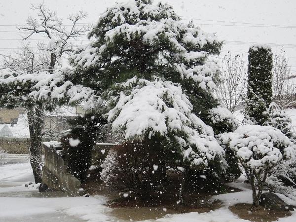 松に降る雪