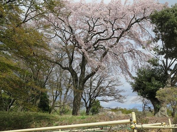 子爵邸の桜
