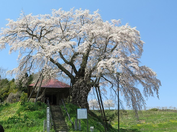 満開の不動桜
