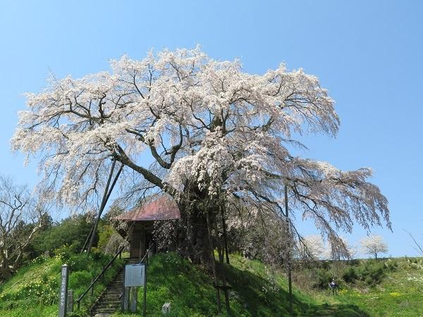 満開の不動桜2