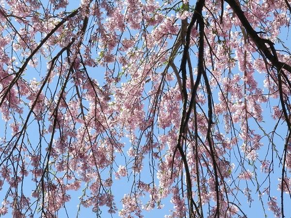 枝垂れる地蔵桜