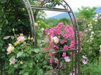 浅間山とバラ