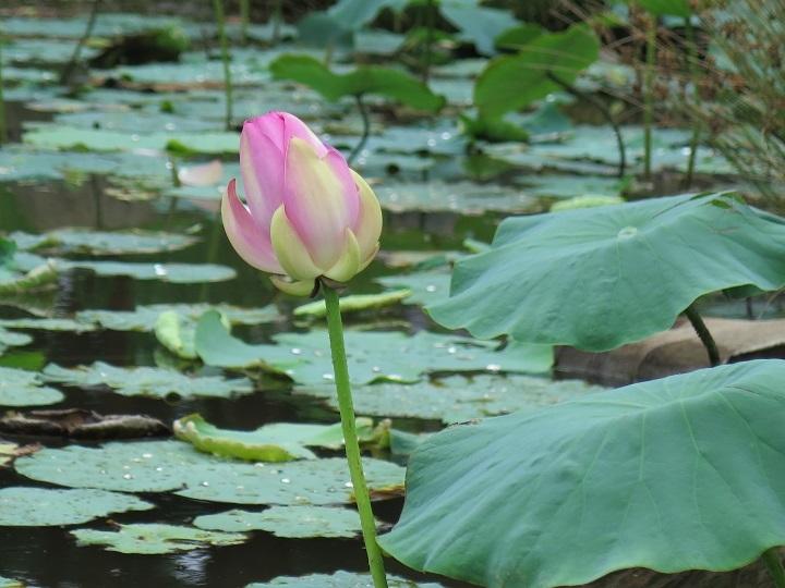 二の池と大賀蓮