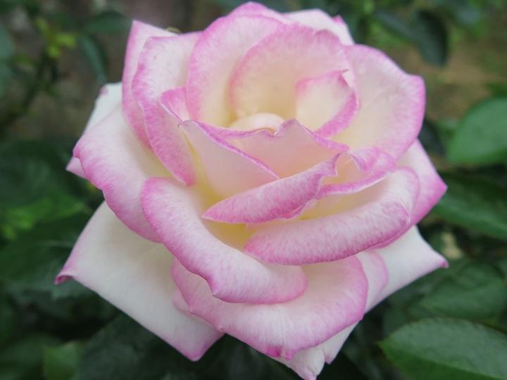 プリンセスドゥモナコ花