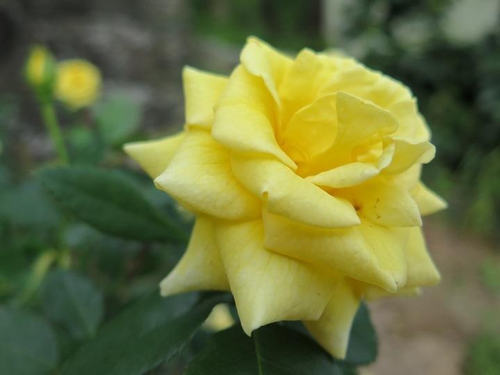 ゴールドバニー花
