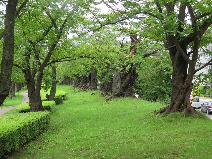 古い桜並木