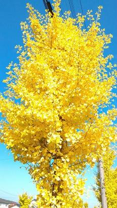 1113イチョウの木