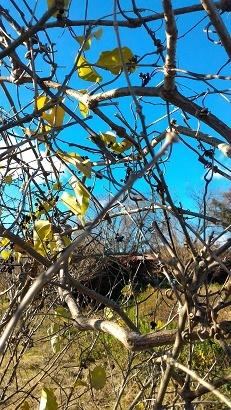 枯れ木の実
