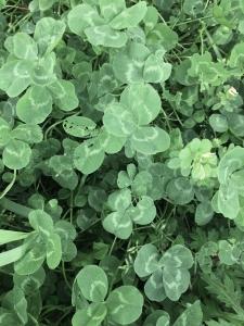 clover3.jpg