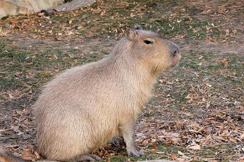 kapibara_5.jpg