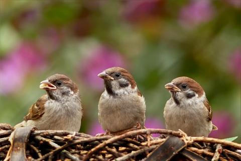 sparrows-797995_1280-1024x682.jpg