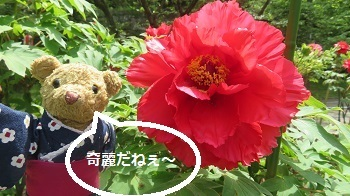 2017 4 22 お城  (牡丹の花)&ベァー