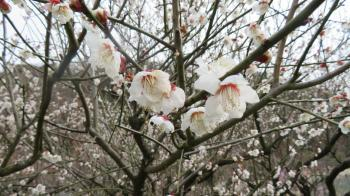 2017 2 26 植物公園 緑花センター (梅林)
