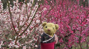 2017 2 26 植物公園 緑花センター (梅林)ベァー