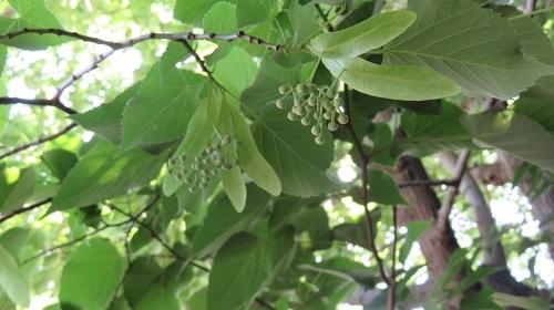2017 5 27 菩提樹の花の蕾