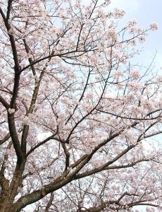 180327桜
