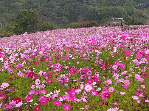201410内山牧場の秋桜