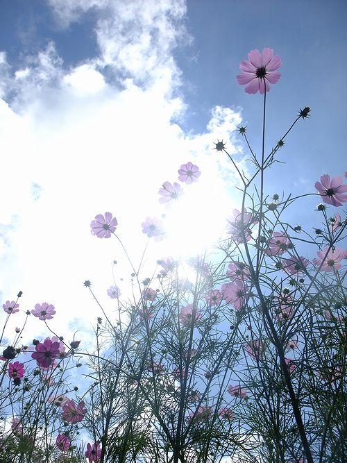 201909内山牧場の秋桜
