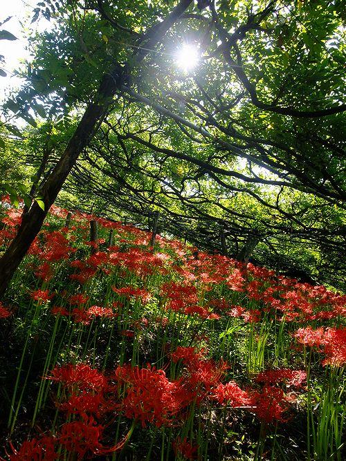 201109くろさわ藤園の曼珠沙華1