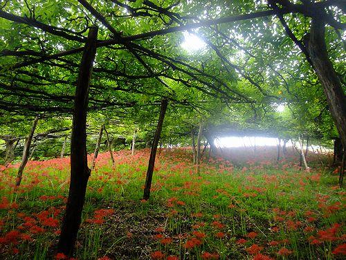 201210くろさわ藤園の曼珠沙華1