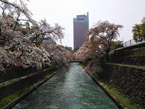 20180403群馬県前橋公園の桜3